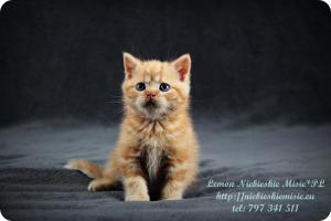 Lemon Niebieskie Misie-rude koty brytyjskie (3)