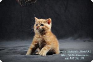 Lemon Niebieskie Misie-rude koty brytyjskie (30)