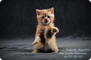 Lemon Niebieskie Misie-rude koty brytyjskie (31)