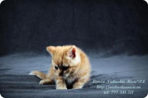 Lemon Niebieskie Misie-rude koty brytyjskie (4)