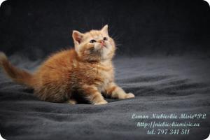 Lemon Niebieskie Misie-rude koty brytyjskie (5)