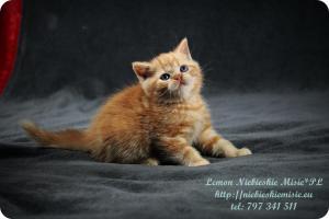 Lemon Niebieskie Misie-rude koty brytyjskie (6)