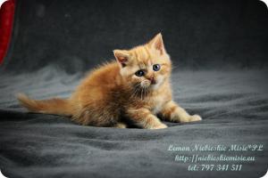 Lemon Niebieskie Misie-rude koty brytyjskie (7)