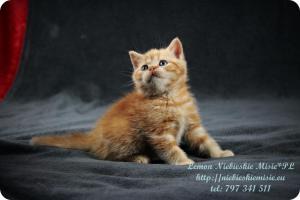 Lemon Niebieskie Misie-rude koty brytyjskie (8)