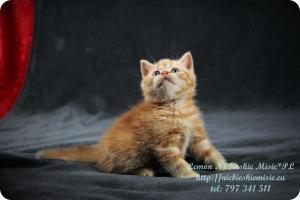 Lemon Niebieskie Misie-rude koty brytyjskie (9)