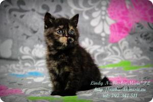 Lindy Niebieskie Misie-koty brytyjskie czarny szylkret (1)