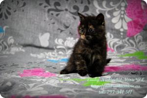 Lindy Niebieskie Misie-koty brytyjskie czarny szylkret (10)
