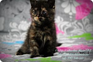 Lindy Niebieskie Misie-koty brytyjskie czarny szylkret (11)