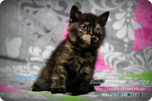 Lindy Niebieskie Misie-koty brytyjskie czarny szylkret (12)