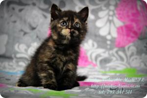 Lindy Niebieskie Misie-koty brytyjskie czarny szylkret (13)