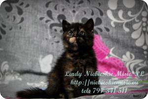 Lindy Niebieskie Misie-koty brytyjskie czarny szylkret (16)