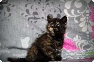Lindy Niebieskie Misie-koty brytyjskie czarny szylkret (18)