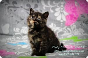 Lindy Niebieskie Misie-koty brytyjskie czarny szylkret (2)