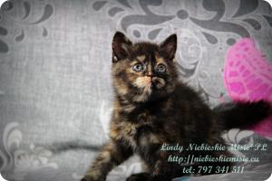 Lindy Niebieskie Misie-koty brytyjskie czarny szylkret (20)