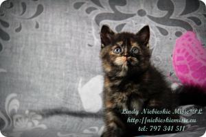 Lindy Niebieskie Misie-koty brytyjskie czarny szylkret (21)