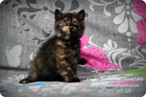 Lindy Niebieskie Misie-koty brytyjskie czarny szylkret (22)