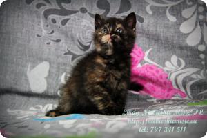 Lindy Niebieskie Misie-koty brytyjskie czarny szylkret (23)