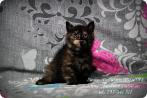 Lindy Niebieskie Misie-koty brytyjskie czarny szylkret (24)