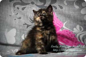 Lindy Niebieskie Misie-koty brytyjskie czarny szylkret (28)