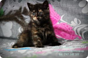 Lindy Niebieskie Misie-koty brytyjskie czarny szylkret (30)