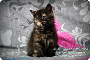 Lindy Niebieskie Misie-koty brytyjskie czarny szylkret (32)