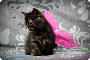 Lindy Niebieskie Misie-koty brytyjskie czarny szylkret (33)