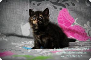Lindy Niebieskie Misie-koty brytyjskie czarny szylkret (35)
