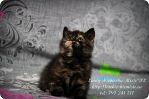 Lindy Niebieskie Misie-koty brytyjskie czarny szylkret (38)
