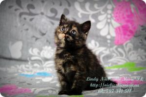 Lindy Niebieskie Misie-koty brytyjskie czarny szylkret (4)