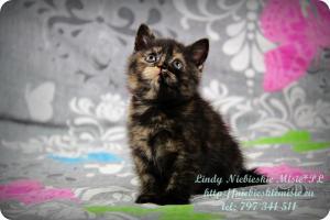 Lindy Niebieskie Misie-koty brytyjskie czarny szylkret (5)