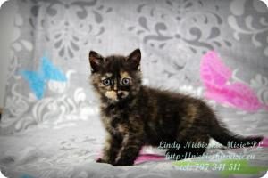 Lindy Niebieskie Misie-koty brytyjskie czarny szylkret (6)