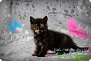 Lindy Niebieskie Misie-koty brytyjskie czarny szylkret (7)