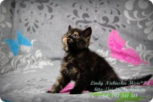 Lindy Niebieskie Misie-koty brytyjskie czarny szylkret (8)