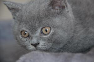 Oland-koty brytyjskie (12)