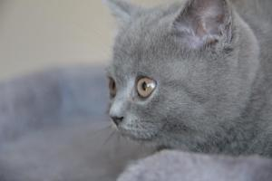 Oland-koty brytyjskie (13)