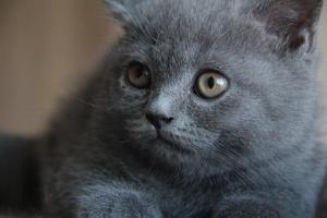 Oland-koty brytyjskie (14)