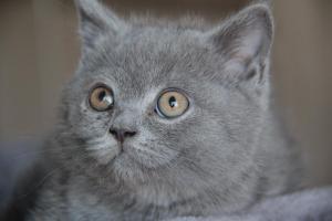 Oland-koty brytyjskie (5)