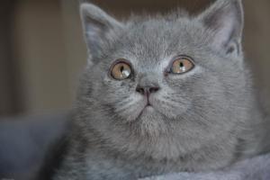 Oland-koty brytyjskie (7)