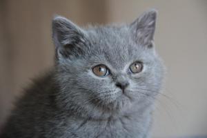 Olga Niebieskie Misie-koty brytyjskie (1)
