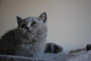 Olga Niebieskie Misie-koty brytyjskie (10)