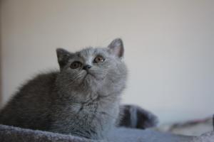 Olga Niebieskie Misie-koty brytyjskie (11)