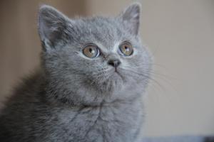 Olga Niebieskie Misie-koty brytyjskie (12)