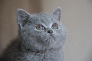 Olga Niebieskie Misie-koty brytyjskie (13)