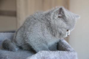 Olga Niebieskie Misie-koty brytyjskie (2)