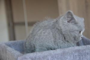 Olga Niebieskie Misie-koty brytyjskie (3)
