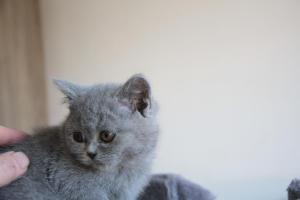 Olga Niebieskie Misie-koty brytyjskie (6)