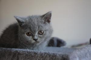 Olga Niebieskie Misie-koty brytyjskie (8)