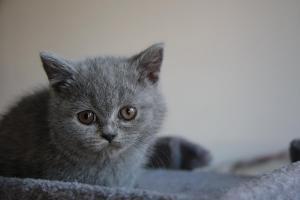 Olga Niebieskie Misie-koty brytyjskie (9)