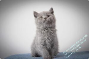 Pawcio Niebieskie Misie-koty brytyjski (1)