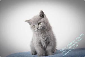Pawcio Niebieskie Misie-koty brytyjski (10)